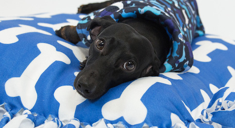 Small black dog lying on blue and white fleece bone pattern pillow.